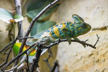 Wild Chameleon