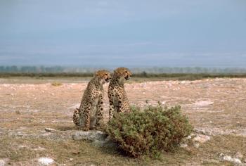 Wild Cheetahs