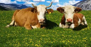 Wild Cows