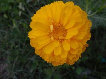 Wild Flower Of India