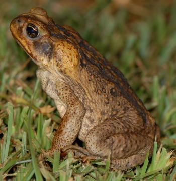 Wild Frog Closeup