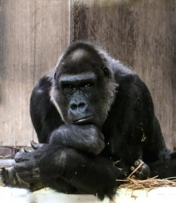 Wild Gorilla