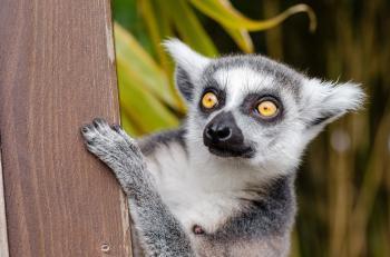 Wild Lemur