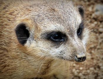 Wild Meerkat