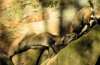 Wild Sheep Fight