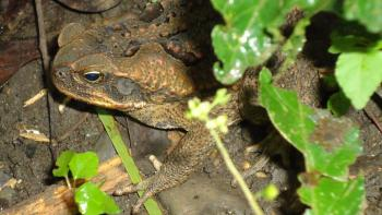 Wild Toad