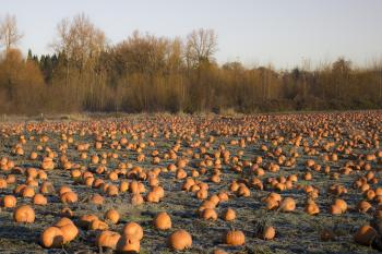 Winter field with pumpkins