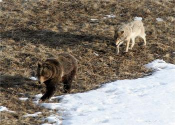 Wolf Behind Grizzly
