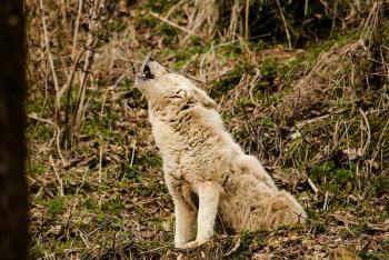 Wolf Howling in the Forest