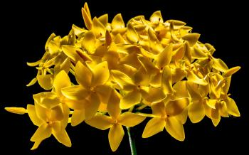 Yellow 5 Petal Flower