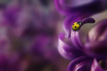 Yellow Beetle on Purple