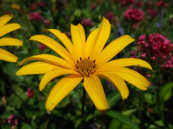 Yellow daisy close-up
