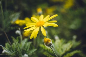 Yellow Daisy Flower in Closeup Photography