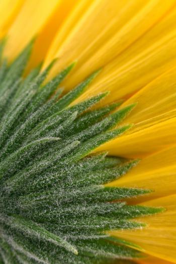 Yellow Daisy Macro - HDR