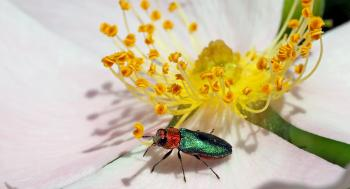 Yellow Flower and Beetle