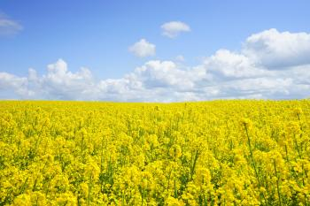 Yellow Flower Field Under Blue Cloudy Sky during Daytime