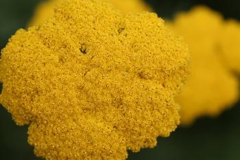 Yellow Flower Texture