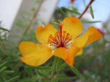 Yellow garden flower