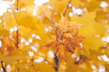 Yellow Oak Leaf Close-up Photography