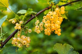 Yellow Round Berries during Daytime