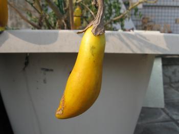 Yellow Seed