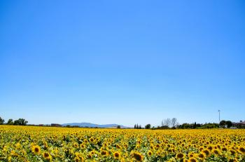 Yellow Sunflower Field