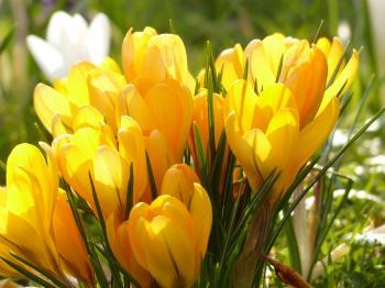 Yellow Tulip Flower during Daytime