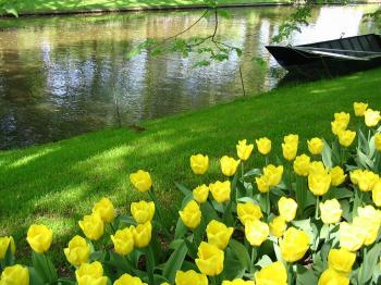 Yellow tulips and a boat