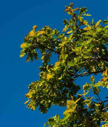 Yellowing Oak Leaves