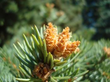 Young fir cones
