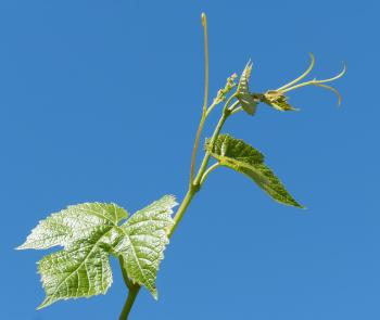 Young grapevine leaves, tendrils and flowers 2