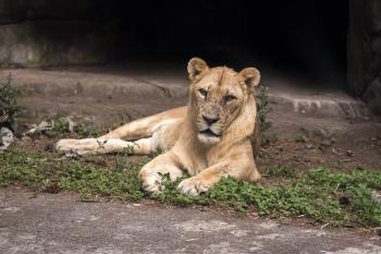 Young lion sit