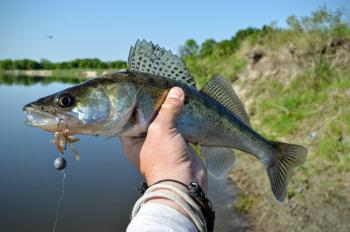 Zander fish or walleye in fisherman's hand