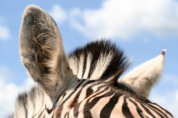Zebra Ears