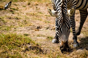 Zebra Eating Grass Selective Focus Photography