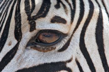 Zebra's Eye
