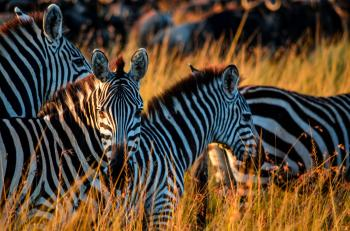 Zebras In Havana