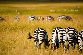 Zebras on Field