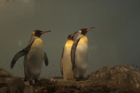 キングペンギン King Penguin