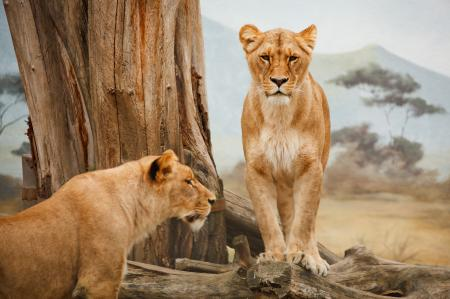 2 Lion on Grass Field during Daytime