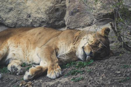 A beautiful golden tiger sleeps near a large stone