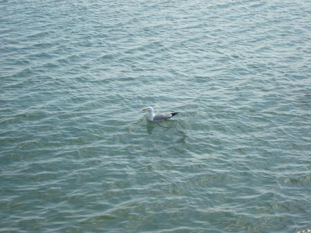A seagull in the sea
