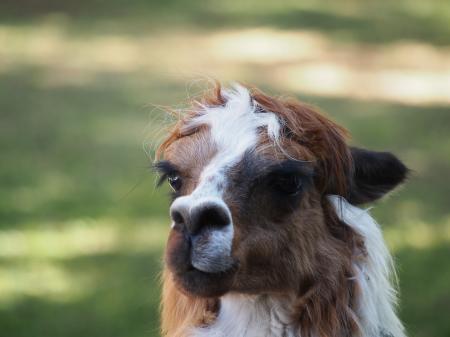 Alpaca contemplating life