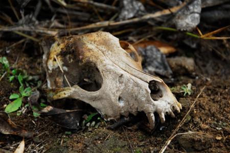 Animal Skull in the Wild