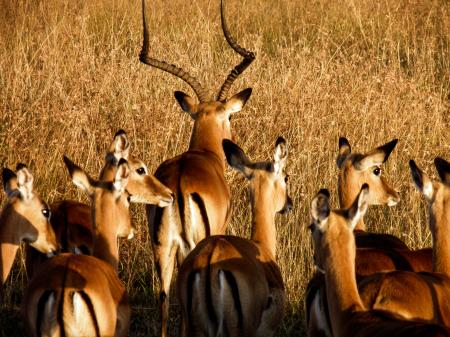 Antelopes on Brown Grass Field