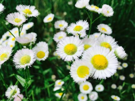 Asters Flowers