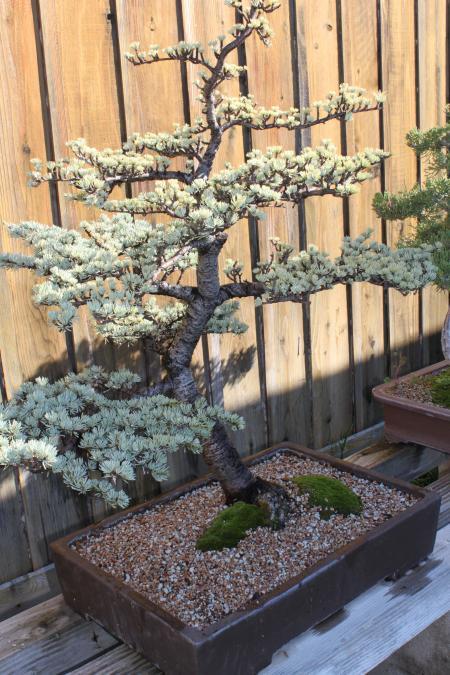 Atlas cedar bonsai