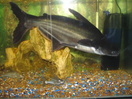 Baby ID shark