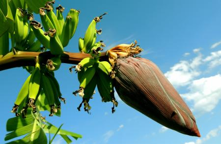 Banana Tree Under Blue Cloudy Sky
