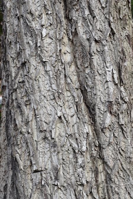 Bark of white walnut